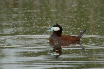 Ruddy Duck - Oxyura jamaicensis