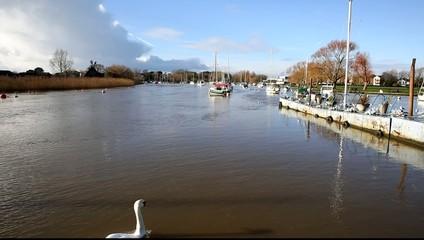 River Stour Christchurch Dorset England UK swan swimming away