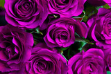 Fototapety Purple natural roses background