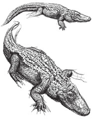 Alligator sketches
