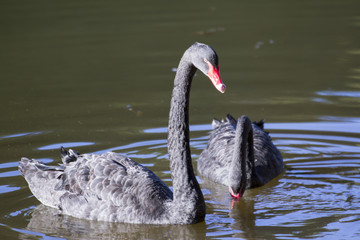 Couple of black swans in the lake
