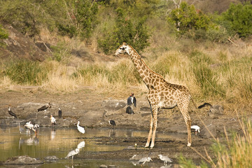 wild giraffe along the river, Kruger, South Africa
