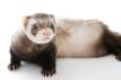 Ferret  isolated