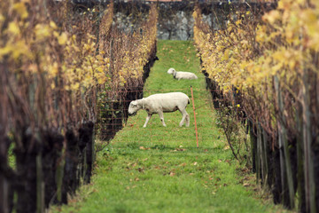 Sheep and vineyard