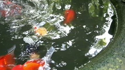 Goldfish in the little pond