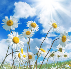Daisies against a beautiful sky with clouds