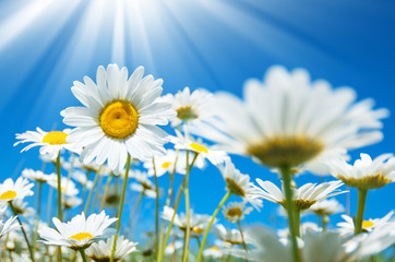 Daisies in the sun on the sky background