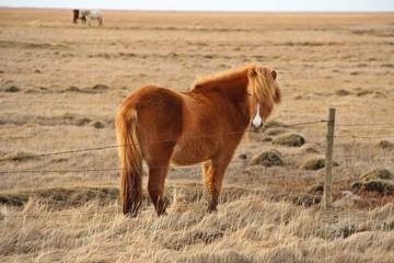 Golden Icelandic horse