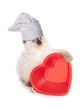 Ragdoll kitten chef