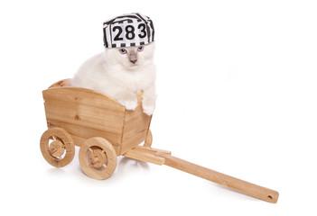 Ragdoll kitten criminal