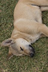 Brown dog lying and sleeping on the grass