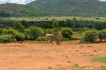 Giraffe, Pilanesberg national park. South Africa.