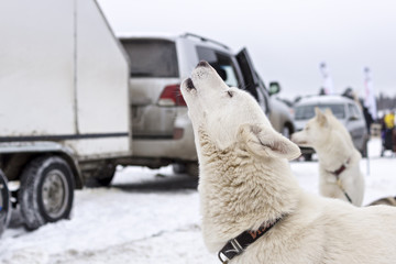 Laika dog howls in wait of racing sled