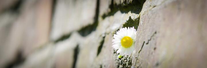 gänseblume zwischen steinen