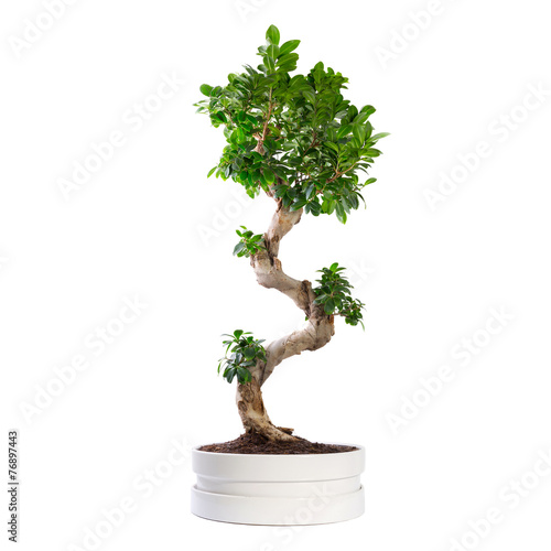 Aluminium Bonsai Ficus microcarpa ginseng tree isolated on white