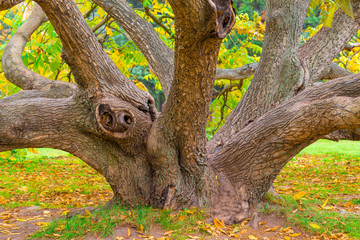 crooked old deciduous tree in autumn forest