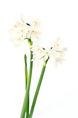 White wild narcissus on white