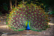 Wild Peacock goes in dark forest with Feathers Out - 76901492