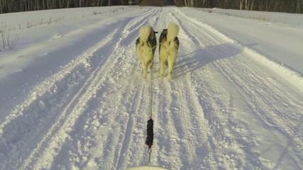 Alaskan malamutes pulling a sled