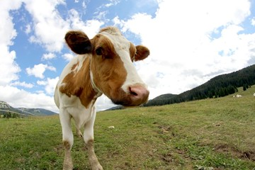 cow grazing shot with fisheye lens and  clouds