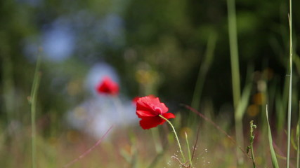 Blooming red poppy against a green grass