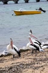 Australische Pelikane - in Port Augusta - Australien