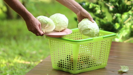 man pours cabbage to basket for cooking traditional soup borsch