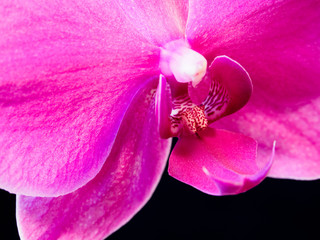 Pink Phalaenopsis detailed