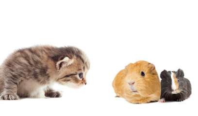 guinea pig and kitty