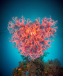 Valentine heart made of corals (Dendronephthya hemprichi)