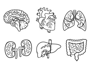 anatomy organs