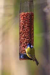Great Tit on a bird feeder in a garden