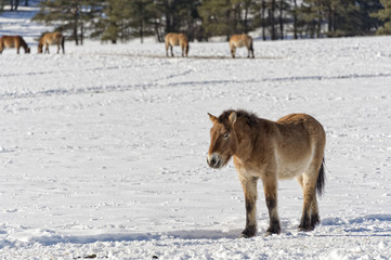 mongol wild horse on snow