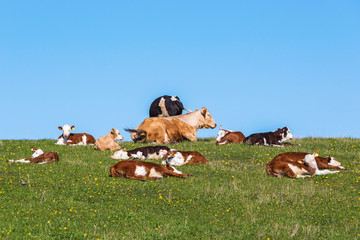 Flock of cows and calves