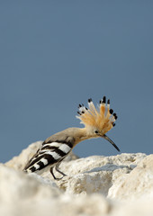 Hoopoe with open crest