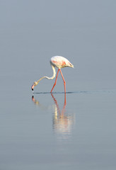 Great flamingo eating food in low tide