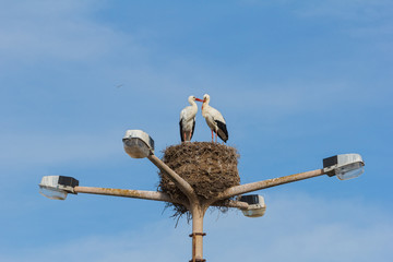 two storks birds mating on top of a lampstreet in Faro, Algarve,
