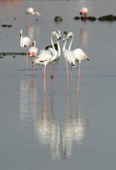 Flamingos are beautiful and gregarious wading birds