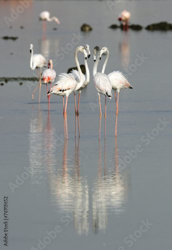 Flamingos are beautiful and gregarious wading birds © Dr Ajay Kumar Singh