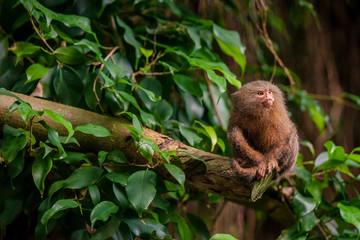 Pygmy Marmoset ape in the jungle