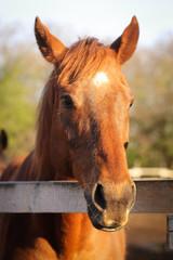 Рыжая лошадь смотрит вдаль