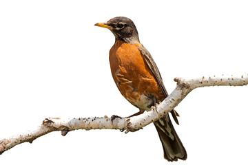 Robin on Birch Branch