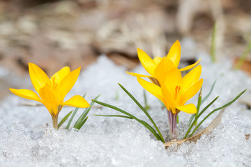 Blossom yellow crocuses
