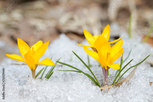 Aluminium Krokus Blossom yellow crocuses