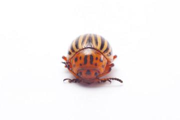 Colorado beetle isolated.