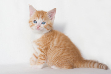 Red kitten with blue eyes