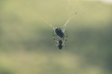 Big black spider in web eating his prey.
