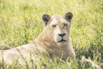 White lioness lying in grass. Mpongo game reserve. Eastern Cape.