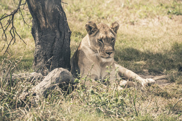 Lioness lying in the shade under a tree. Mpongo game reserve. So