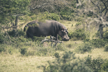 Hippo walking through bushes. Mpongo game reserve. South Africa.